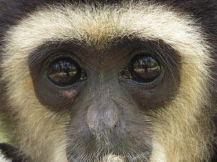 Gibbon phuket
