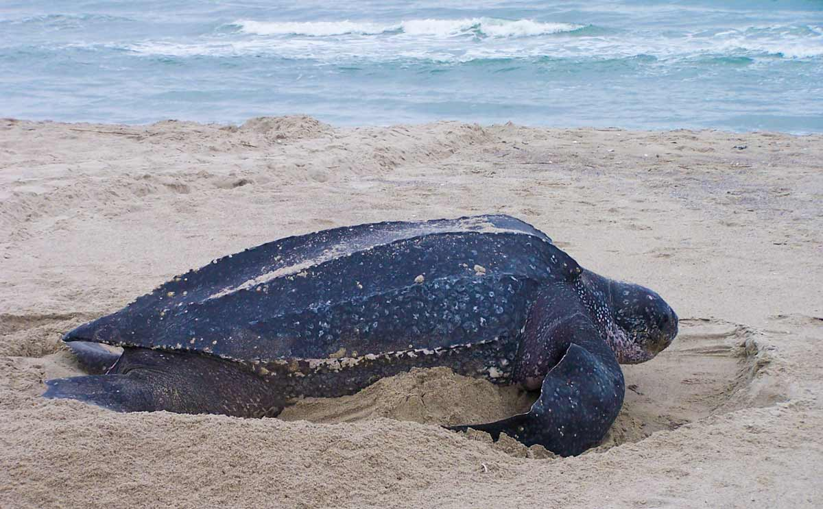 leatherback turtle laying eggs on beach in phuket